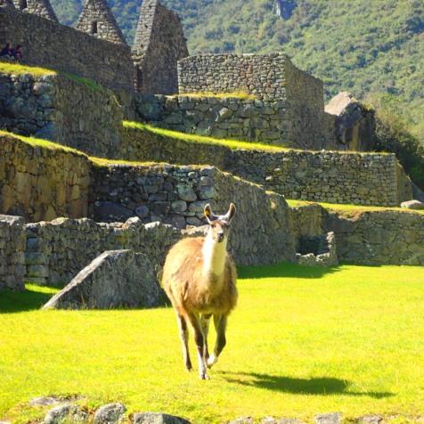 Llama charge